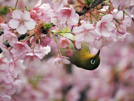 桜とメジロの素材 [FYI00053046]