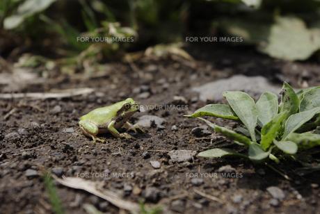 カエルの写真素材 [FYI00053155]