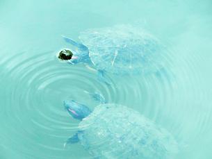 寄り添い泳ぐ亀の素材 [FYI00053208]