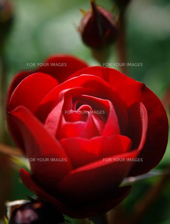 赤いバラの素材 [FYI00053223]