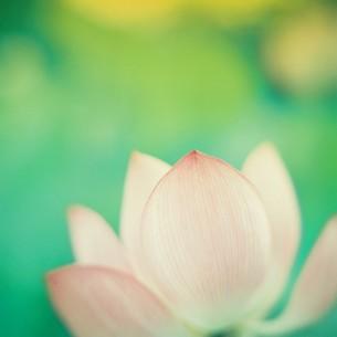 LOTUS FLOWERの写真素材 [FYI00053240]
