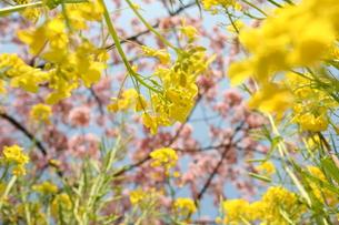 菜の花の写真素材 [FYI00053330]