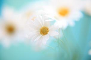 白い花の写真素材 [FYI00053334]