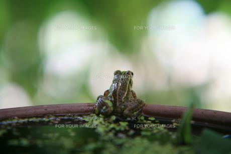 カエルの素材 [FYI00053591]