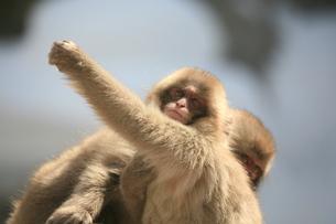 サルの写真素材 [FYI00054061]