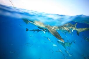 サメの素材 [FYI00054229]