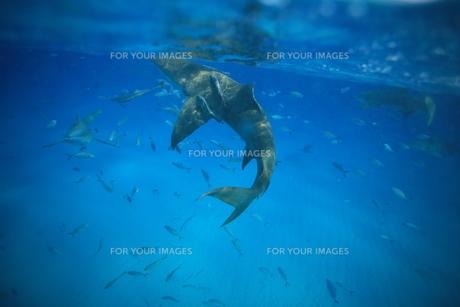 サメの素材 [FYI00054234]
