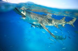サメの素材 [FYI00054237]