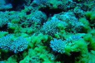 壊滅したサンゴ礁から復活したサンゴの写真素材 [FYI00054664]