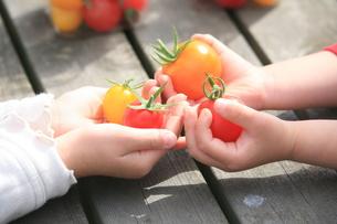 プチトマトの写真素材 [FYI00054973]