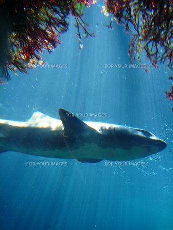 サメの素材 [FYI00055177]