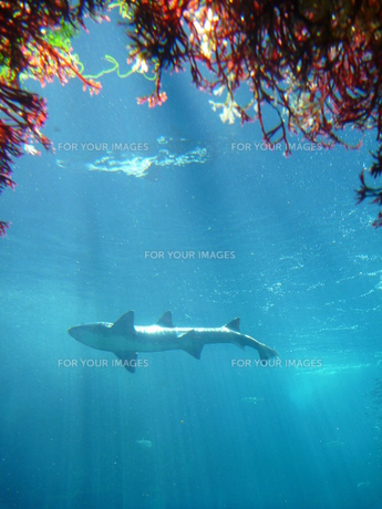 サメの素材 [FYI00055178]