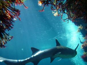 サメの素材 [FYI00055202]