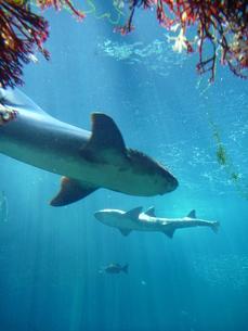 サメの素材 [FYI00055220]