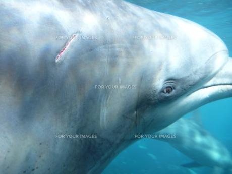 イルカの目と傷の写真素材 [FYI00055298]