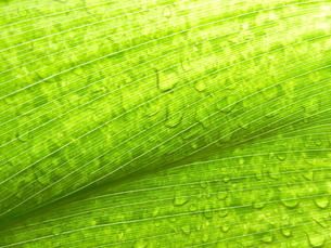 水滴と葉の写真素材 [FYI00055486]