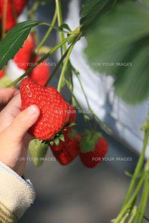 イチゴの簡単な採り方。の素材 [FYI00055630]