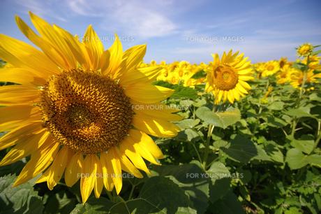 Sunflowersの素材 [FYI00055838]