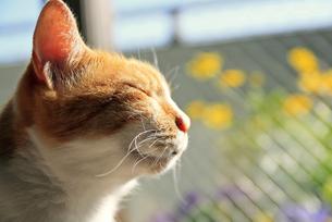 ひなたぼっこするトラ猫の写真素材 [FYI00055869]