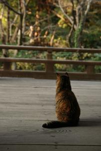 哀愁漂う鎌倉の猫の写真素材 [FYI00055870]