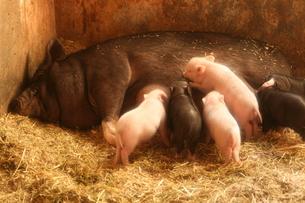 乳を飲む豚の赤ちゃんの写真素材 [FYI00055897]