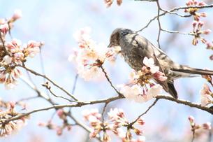 桜と小鳥の素材 [FYI00055898]