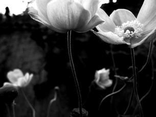 黒と白い花の素材 [FYI00056041]