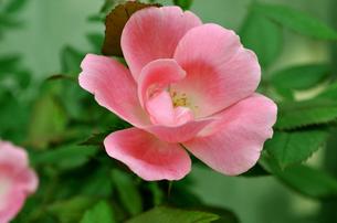 ピンクの花の写真素材 [FYI00056047]
