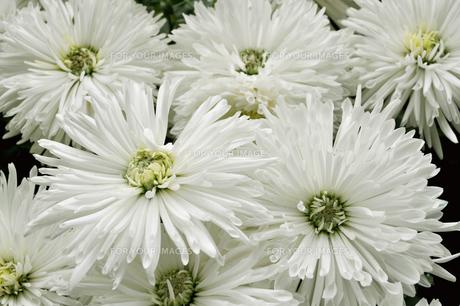 白い菊の写真素材 [FYI00056059]