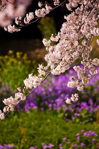 川沿いの桜の写真素材 [FYI00056206]