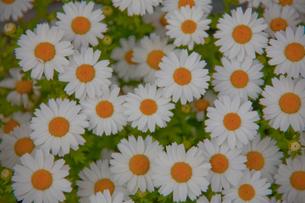 白い花の写真素材 [FYI00056228]