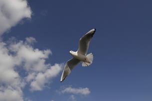 大空を飛ぶ一羽のカモメの写真素材 [FYI00056251]