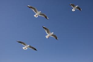 大空を飛ぶ4羽のカモメの写真素材 [FYI00056291]