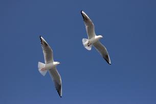 青空に飛ぶ2羽のカモメの写真素材 [FYI00056314]