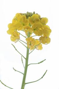 白い背景の菜の花の写真素材 [FYI00056316]
