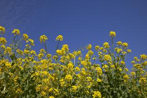 青空と菜の花の写真素材 [FYI00056343]