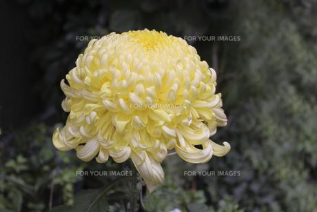 大輪の菊の花の写真素材 [FYI00056350]