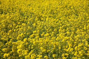 菜の花畑の写真素材 [FYI00056387]