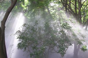 綺麗な光線と森の霧の写真素材 [FYI00056413]