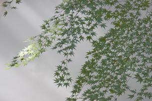 霧とバックに緑のカエデの写真素材 [FYI00056414]