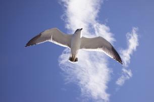 青空と白い雲に海猫が飛んでいますの写真素材 [FYI00056451]