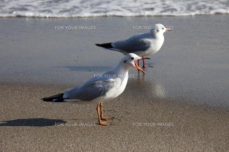 砂浜で歌うカモメの素材 [FYI00056453]