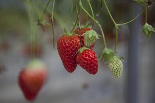 赤く実ったイチゴの素材 [FYI00056463]