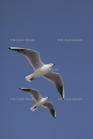 縦位置と青空に2羽のカモメの写真素材 [FYI00056518]
