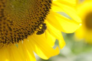 ひまわりとミツバチの写真素材 [FYI00056539]
