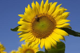 ヒマワリにミツバチが止まるの写真素材 [FYI00056541]
