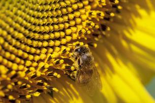 ハチとヒマワリの写真素材 [FYI00056550]