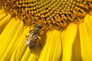 ハチとヒマワリの写真素材 [FYI00056622]