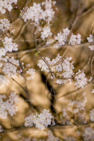 桜の素材 [FYI00056689]