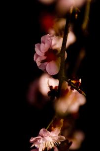 梅の写真素材 [FYI00056693]